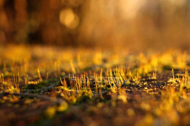 Вид на мох на заході сонця, розмитий. — стокове фото