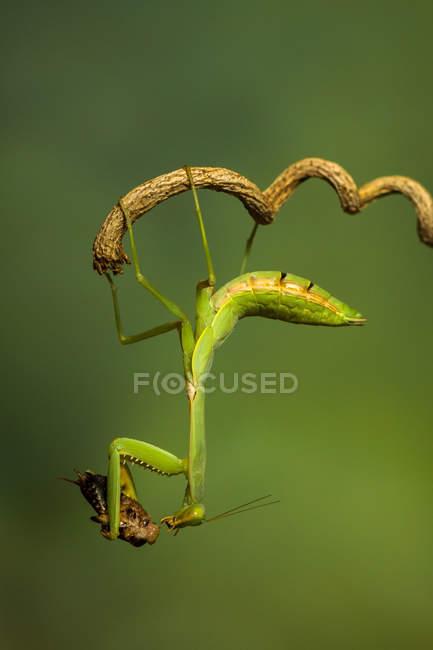 Gottesanbeterin auf einem Ast mit Insektenbeute, Indonesien — Stockfoto