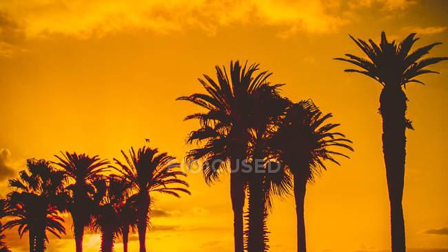 Силуэт пальм на закате, Кейптаун, Западный Кейп, Южная Африка — стоковое фото