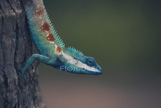 Portrait of a Blue Crested Lizard closeup, selective focus — Stock Photo