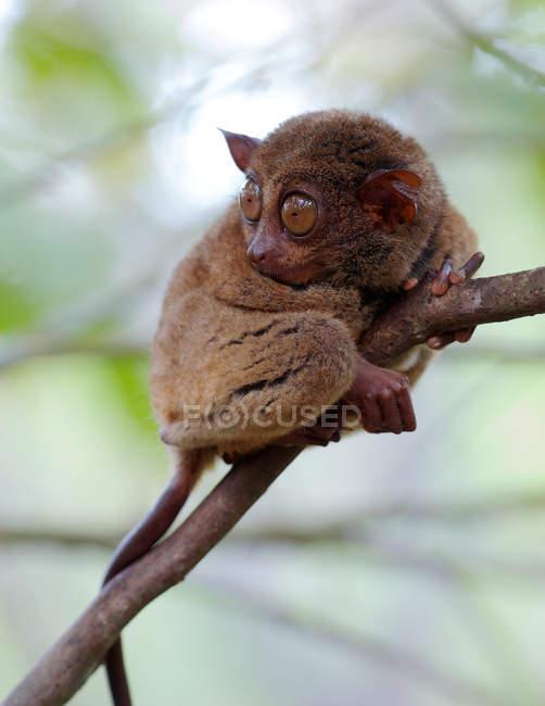 Primo piano vista di ritratto di un tarsier, Bohol-Panglao, Filippine — Foto stock