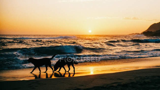 Silhouette of two rottweiler dogs walking on beach at sunset — Fotografia de Stock