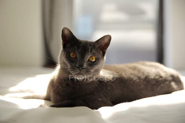 Chartreux Katze liegt auf dem Bett im Sonnenlicht — Stockfoto