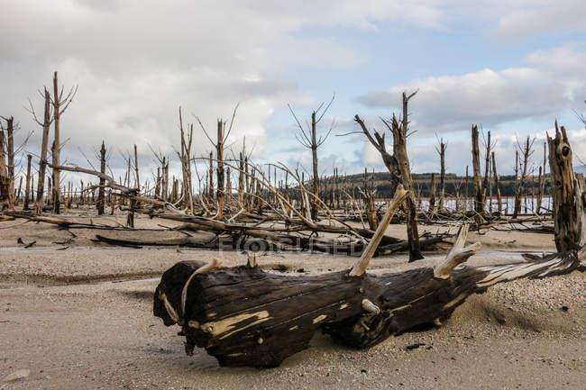 Arbres morts sur les rives d'un lac pendant la sécheresse, Western Cape, Afrique du Sud — Photo de stock