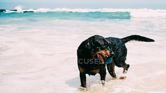 Rottweiler dog playing in the ocean surf — стоковое фото