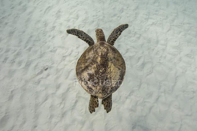Vista aerea di una tartaruga che nuota nell'oceano — Foto stock
