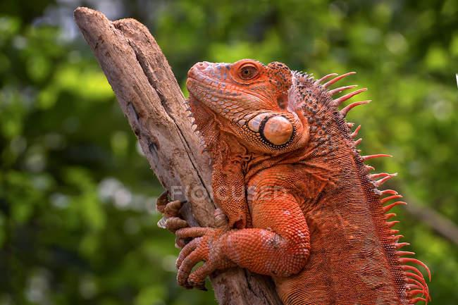 Seitenansicht eines roten Leguans auf einem Ast, selektiver Fokus — Stockfoto