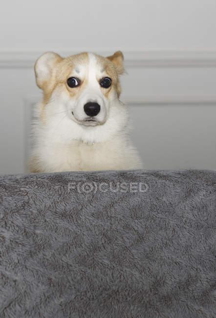 Cão que senta-se atrás de um sofá e que olha engraçado — Fotografia de Stock