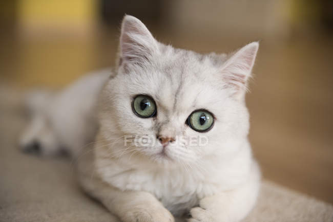 Portrait of a white cat, closeup view, blurred background — Stock Photo