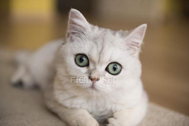 Retrato de um gato branco, opinião do close up, fundo borrado — Fotografia de Stock