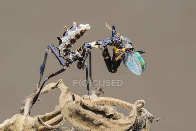 Mantis que come um inseto, opinião do close up — Fotografia de Stock