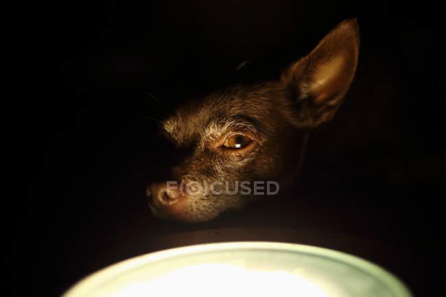 Kurzmantel-Chihuahua-Hund sitzt an einer Stehlampe — Stockfoto
