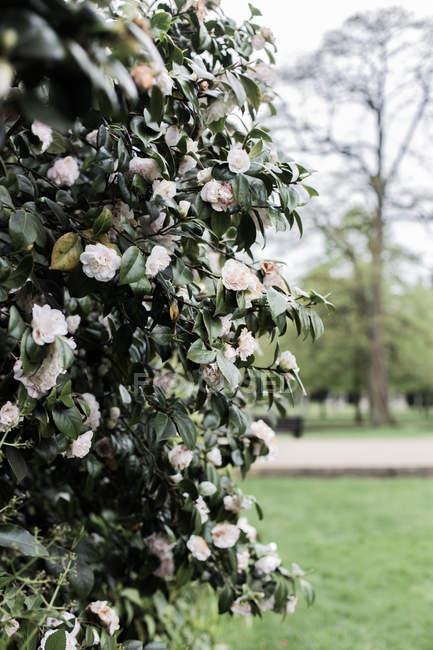 Close-up of a white camellia bush in a park, United Kingdom — Stock Photo