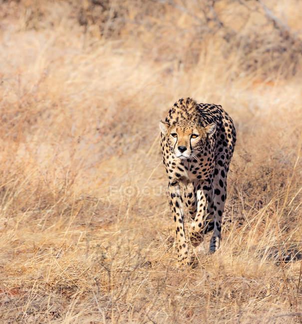Female cheetah stalking prey in grass, Kenya — Stock Photo