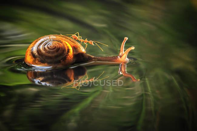 Escargot nageant dans l'eau avec une fourmi sur le dos — Photo de stock