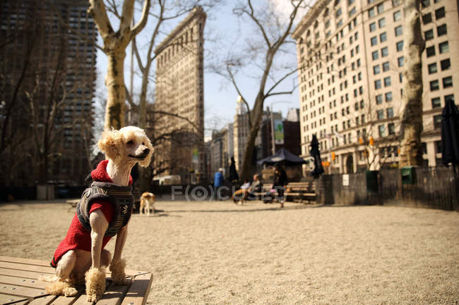 Caniche se reposant sur le banc, Madison Square Park, Manhattan, New York, Amérique, Etats-Unis — Photo de stock