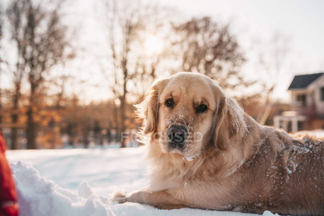 Crabot de retriever d'or se trouvant dans la neige — Photo de stock