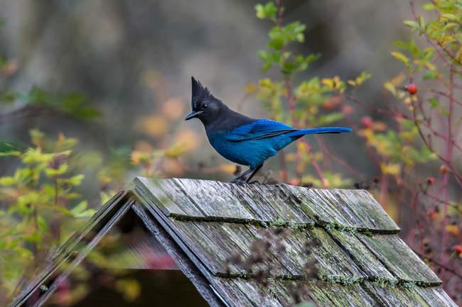 Azul gaio empoleirado em um alimentador de pássaros, contra fundo borrado — Fotografia de Stock