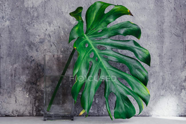 Monstera leaf in vase on stone background — Stock Photo