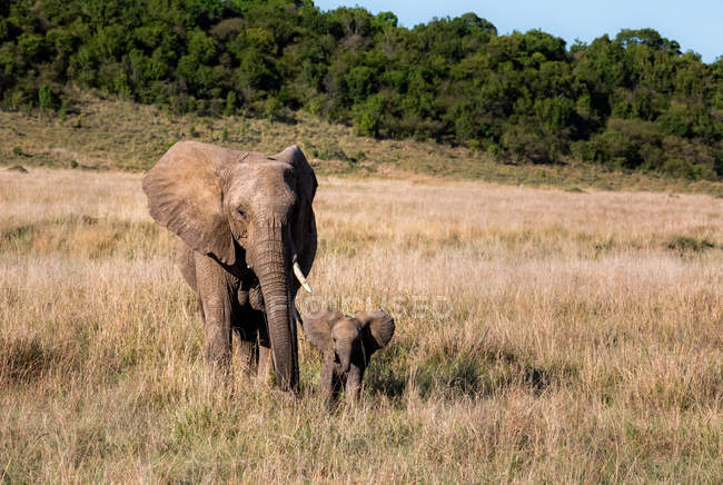 Elephant cow walking in the bush with her calf, Kenya — Stock Photo