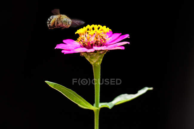 Bee hovering over a flower, macro shot — Stock Photo