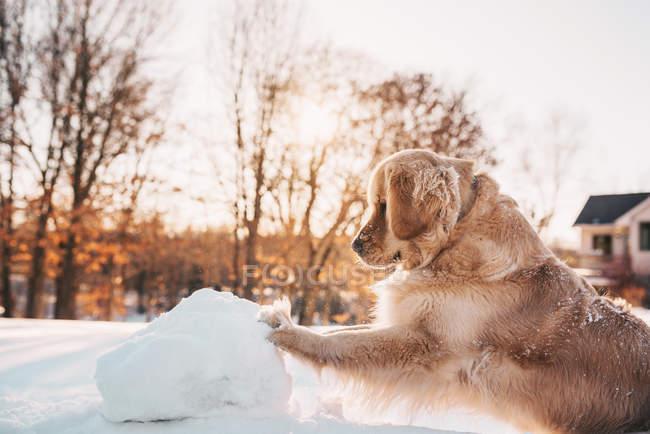 Golden Retriever Hund schiebt einen riesigen Schneeball — Stockfoto