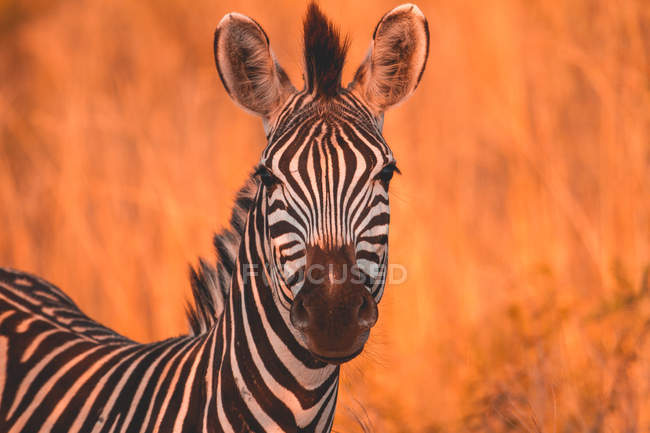Portrait of a zebra, Madikwe Game Reserve, South Africa — стокове фото