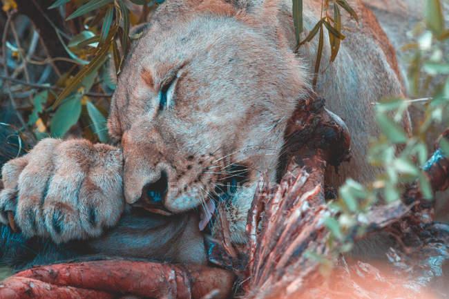 Самка льва ест добычу в дикой жизни — стоковое фото