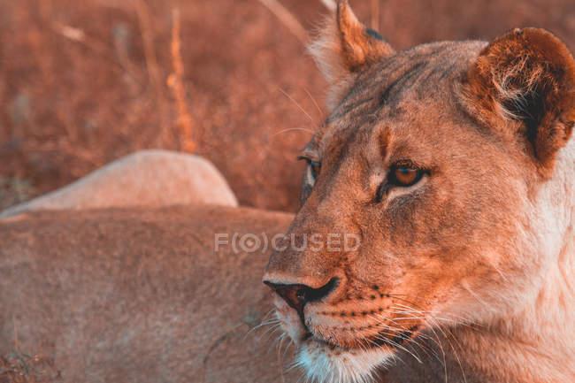 Крупным планом вид львицы морда, размытый фон — стоковое фото