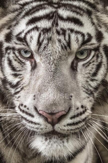 Nahaufnahme Porträt eines weißen Tigers — Stockfoto
