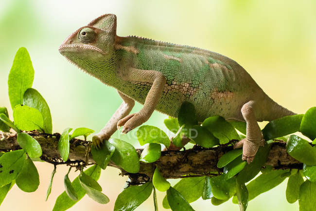Side view of Veiled chameleon on a branch, selective focus — Stock Photo