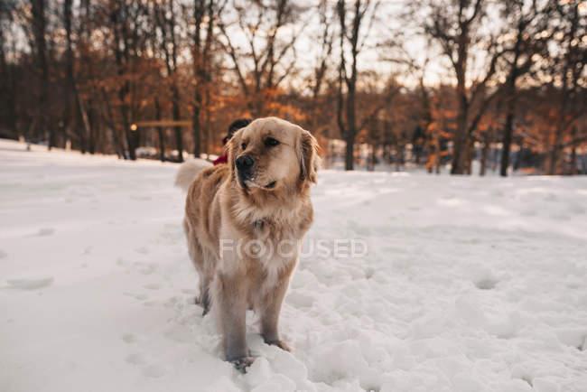 Crabot de retriever d'or restant dans la neige — Photo de stock