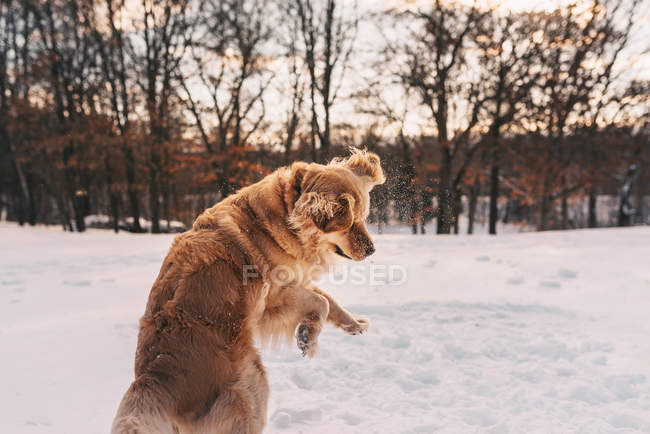 Crabot de retriever d'or jouant dans la neige — Photo de stock