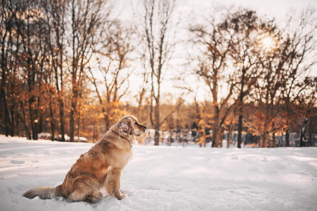 Crabot de retriever d'or restant dans la neige — Photo de stock