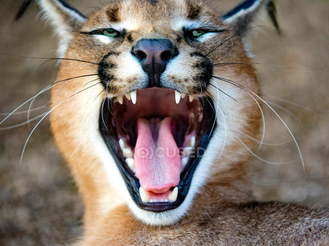 Portrait of a caracal growling, South Africa — Stock Photo