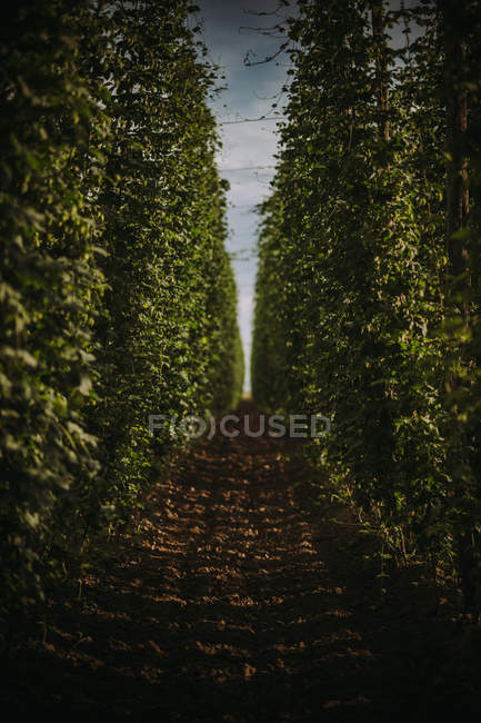 Scenic view of Field of hops, Serbia — Stock Photo