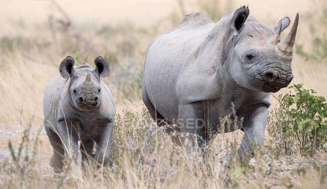 Женский rhino с ее носорог теленка, Национальный парк Этоша, Намибия — стоковое фото