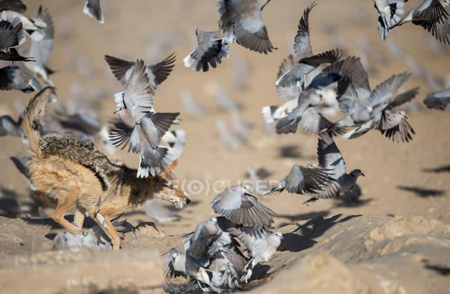 Chacal persiguiendo pájaros en un pozo de agua, fondo borroso - foto de stock