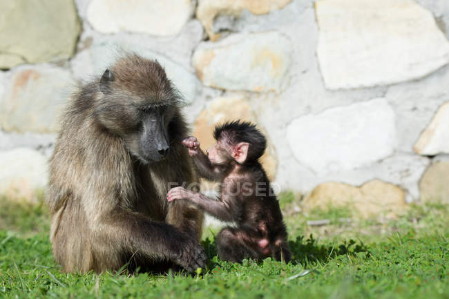 Portrait of a baboon with a baboon infant, Cape Point, Western Cape, South Africa — Stock Photo