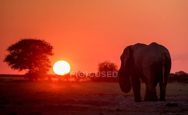 Живописный вид на Величественный силуэт слона на закате, Ботсвана — стоковое фото