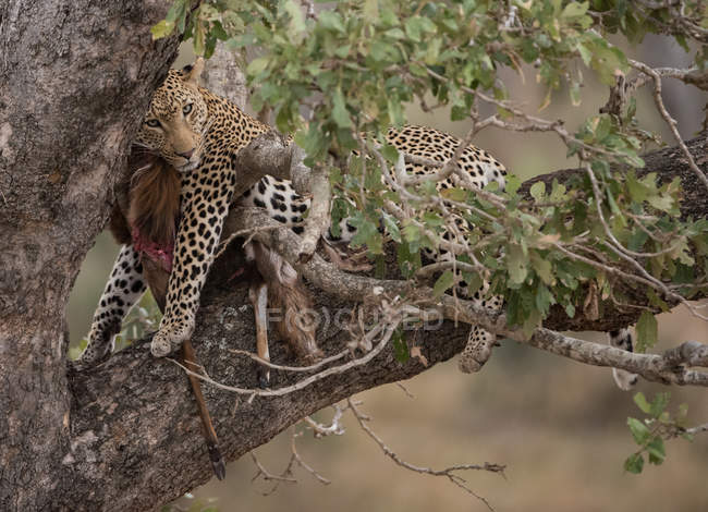 Scenic view of Leopard in a tree with a fresh kill, Kruger National Park, South Africa — Stock Photo