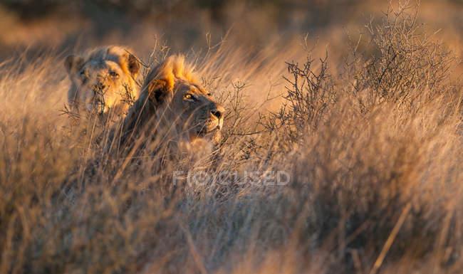 Два льва, лежащие в траве, Трансграничный парк Кгалагади, — стоковое фото