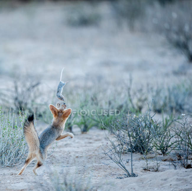 Cabo de zorro jugando con una rata muerta, Kgalagadi Transborder Park, Sudáfrica. - foto de stock