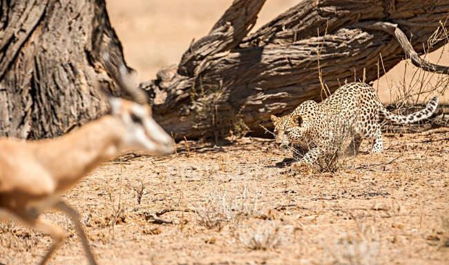 Vista panorámica del leopardo acechando un antílope, Kgalagadi Transfrontier Park, Sudáfrica - foto de stock