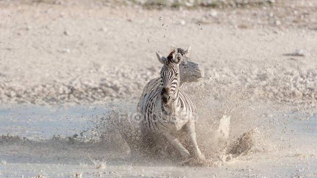 Two Zebras running across a river, Etosha National Park, Namibia — Stock Photo