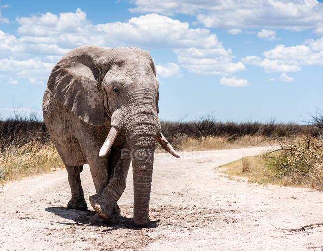 Слон, пешком вниз по дороге, Национальный парк Этоша, Намибия — стоковое фото