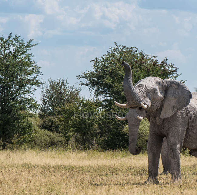Живописный вид на величественные два слона, Nxai кастрюли, Ботсвана — стоковое фото