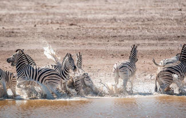 Стадо зебр, выбегающее из реки, национальный парк Этоша, Нибия — стоковое фото