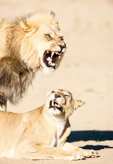 Lion and lioness mating, Kgalagadi Transfrontier Park, South Africa — Stock Photo