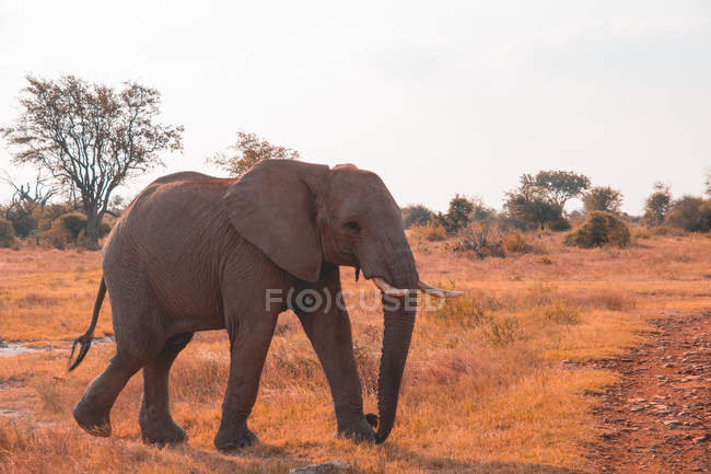 Scenic view of majestic young bull elephant calf, Madikwe Game Reserve, South Africa — Stock Photo